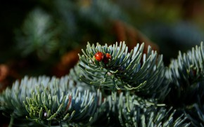Picture macro, insects, branches, two, ladybug, beetle, needles, ladybugs, coniferous, bugs, spruce, pine