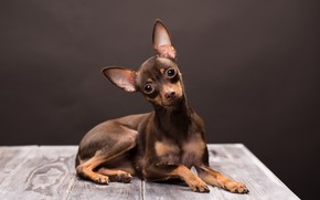 Picture look, dog, muzzle, brown, Russian toy Terrier