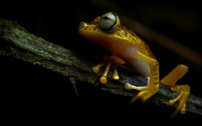 Picture look, frog, branch, black background, sitting, yellow