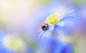 Picture macro, flowers, red, background, ladybug, beetle, blur, blue, insect, bug, bokeh