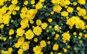 Picture autumn, chrysanthemum, yellow chrysanthemum