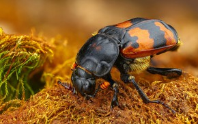 Picture macro, background, black, moss, beetle, red, brown, striped, spotted, powerful, nasekomoe