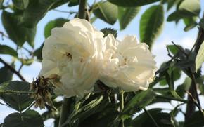 Picture Pair, Roses, White roses, Meduzanol ©, Summer 2018