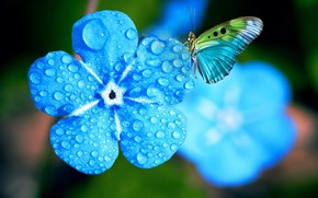 Picture flower, water, drops, macro, light, flowers, blue, butterfly, photoshop, treatment, blue, blue, bokeh, forget-me-nots
