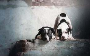 Picture dogs, look, pose, wall, black and white, two, dog, paws, puppies, masonry, pair, puppy, bricks, …