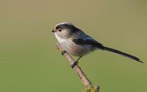 Picture bird, branch, long-tailed tit, bird, pichuga, polovnik
