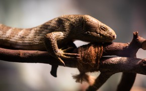 Picture face, light, branches, pose, blur, rope, lizard, reptile, closed eyes