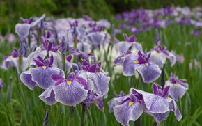 Wallpaper irises, petals, a lot, bokeh