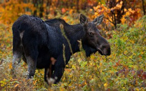 Picture autumn, forest, look, moose