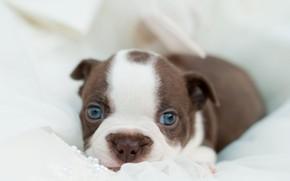 Picture dog, look, lies, puppy, puppy, bulldog, dog