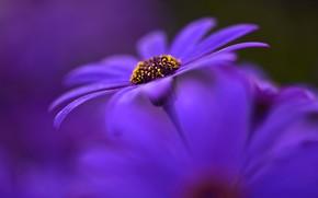 Picture macro, flowers, petals, purple, bokeh