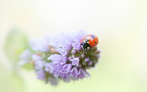 Picture macro, flowers, red, background, ladybug, beetle, blur, insect, lilac, bug