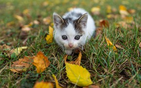 Picture autumn, cat, white, grass, look, leaves, kitty, glade, foliage, baby, muzzle, kitty, sitting, spotted, autumn …