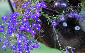 Picture cat, cat, look, face, flowers, nature, purple, lilac, Siamese, color-point, ragdoll