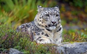 Picture look, face, nature, stones, rain, portrait, IRBIS, snow leopard