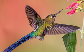 Picture flowers, bird, Hummingbird