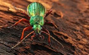 Picture beetle, insect, жужелица золотистая