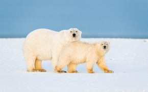 Picture winter, white, look, snow, nature, pose, baby, bear, bears, pair, bear, walk, polar bear, two, …