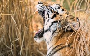 Picture tiger, teeth, feline