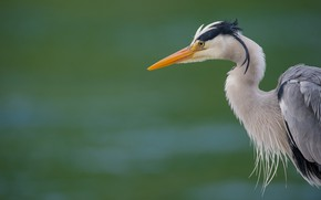 Wallpaper birds, beak, grey Heron