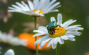 Picture summer, macro, flowers, green, chamomile, beetle, insect, brantovka, brantovka Golden
