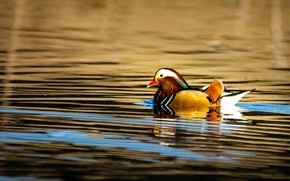 Picture water, light, reflection, ruffle, duck, pond, swimming, bright plumage, tangerine
