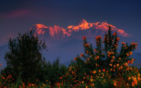 Picture sunset, flowers, mountains, the bushes, The Himalayas, Nepal