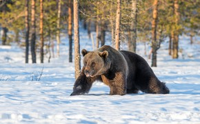 Picture winter, forest, snow, trees, pose, bear, bear, the snow, walk, brown
