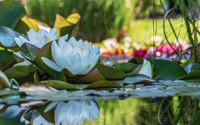 Picture leaves, water, flowers, nature, reflection, water lilies