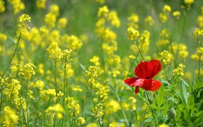 Picture summer, flowers, red, Mac, spring, yellow, rape, rapeseed field
