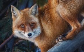 Picture nature, animal, Fox, Fox