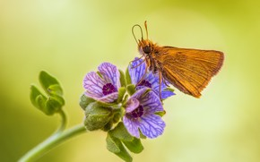 Picture flower, butterfly, skipper Actaeon