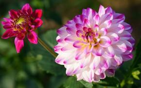 Picture flower, leaves, macro, background, pink, petals, garden, Bud, Dahlia, bokeh, bright, dahlias, Dahlia