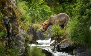 Wallpaper river, bear, brown