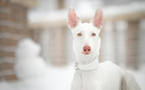 Picture winter, look, face, snow, nature, portrait, dog, white, light background, bokeh