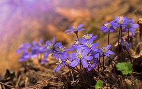 Picture flowers, spring, the coppice, pechenocna
