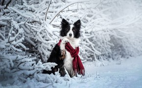 Picture winter, snow, branches, dog, scarf, The border collie, Ekaterina Kikot