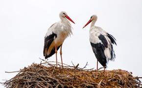 Picture birds, socket, storks