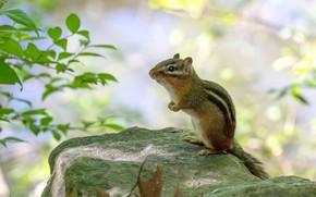Picture look, leaves, pose, background, stone, animal, Chipmunk, sitting, bokeh