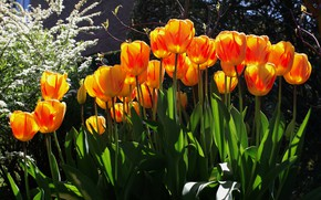 Picture greens, light, flowers, branches, bright, spring, garden, tulips, orange, buds, flowerbed, flowering, a lot