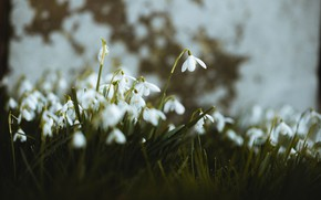 Picture flowers, wall, blur, spring, snowdrops, white, bokeh