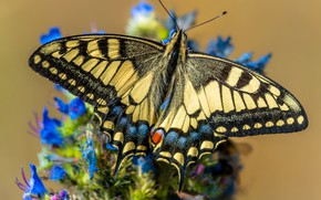 Picture macro, flowers, butterfly, yellow, swallowtail