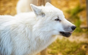Picture autumn, language, white, look, face, yellow, background, wolf, portrait, profile, bokeh, Arctic, polar
