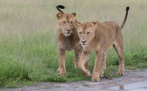 Picture glade, two, pair, walk, lions, lioness