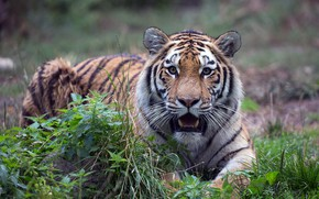 Picture look, tiger, mouth, lies, nettle