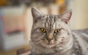 Picture cat, cat, look, face, grey, portrait, striped, British, bokeh, blurred background, yellow eyes, Scottish