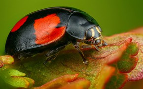 Picture macro, leaf, ladybug, beetle, insect, green background, black with red