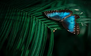 Picture leaves, macro, nature, the dark background, butterfly, plant, insect, blue, bokeh