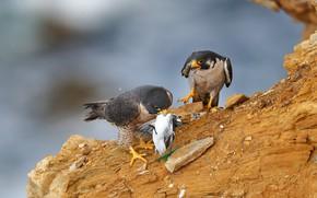 Picture birds, stones, predators, pair, Falcon, two, mining, two birds