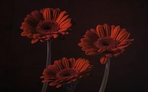 Picture trio, gerbera, the dark background